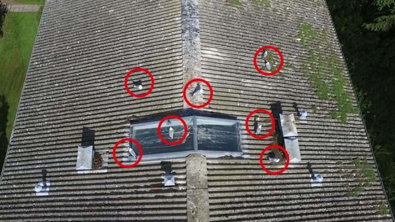 Måge problemer på tag, bekæmpes effektivt med droner